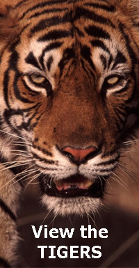 View photographs of tigers in India